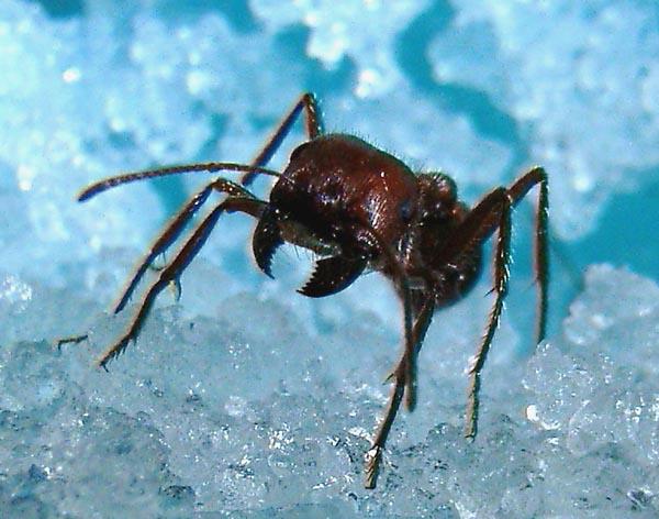 Муравьи. Муравейник. Жизнь муравьёв